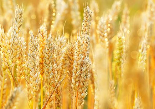 北海道産小麦粉